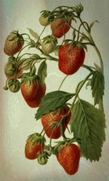 strawberrywatercolor