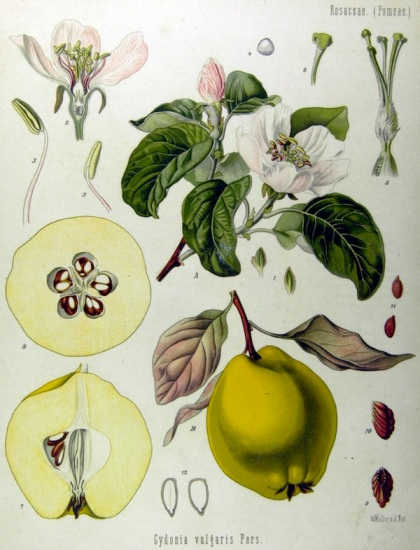 quinces, from Köhler's Medizinal Pflanzen (source: wikipedia)