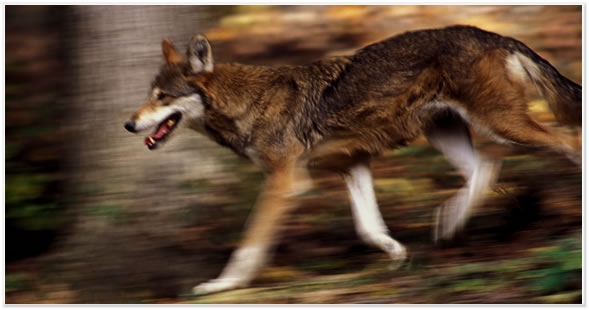 Red Wolf. Courtesy of Endangered Wolf Center (click to visit)